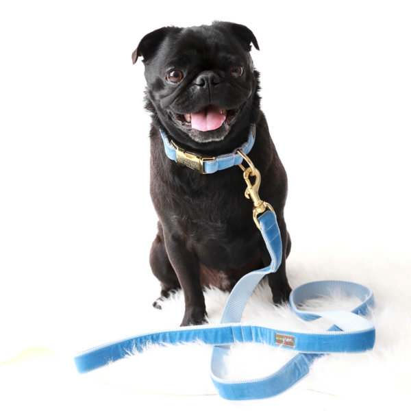 Blue Velvet Dog Collar Pug