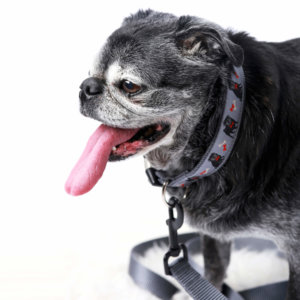 black pug dog collar